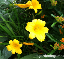 Day Lilies (Yellow) beginner gardener how to garden
