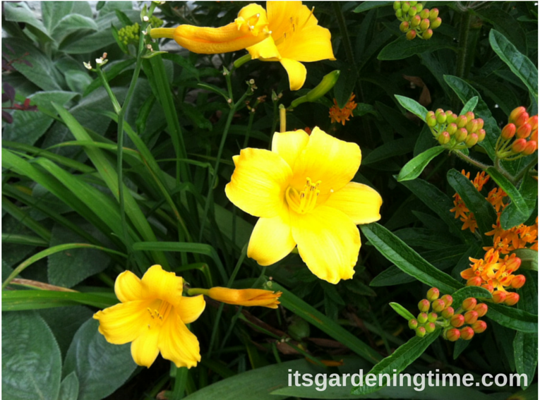 Day Lilies (Yellow) beginner gardener how to garden