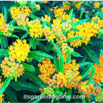 6 Reasons to #Grow #Milkweed #Shrub in Your #Garden!