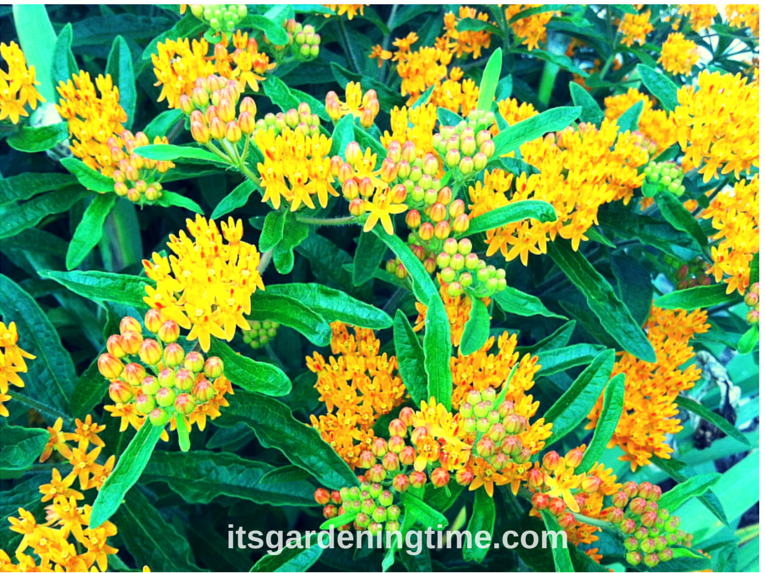 Milkweed Bush beginner gardener how to garden