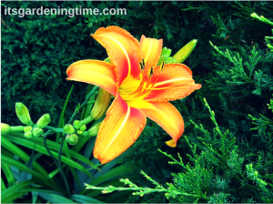 Tiger Lilies beginner gardener how to garden