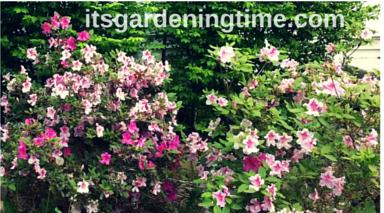Mystery Shrub? beginner gardener how to garden