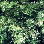 4 Ways Table-Top #Juniper Enhances #Landscape! #evergreens