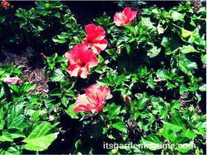 Myrtle Beach Hibiscus beginner gardener how to garden