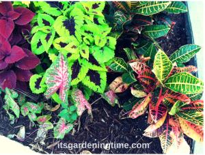 Myrtle Beach Coleus & Crotons beginner gardener how to garden