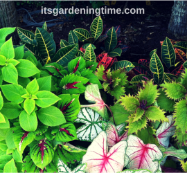 Myrtle Beach Coleus & Crotons beginner gardener how to garden
