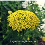 5 #GardeningTips to #Grow Golden Yarrow! #flowers