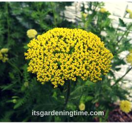 Golden Yarrow beginner gardener how to garden
