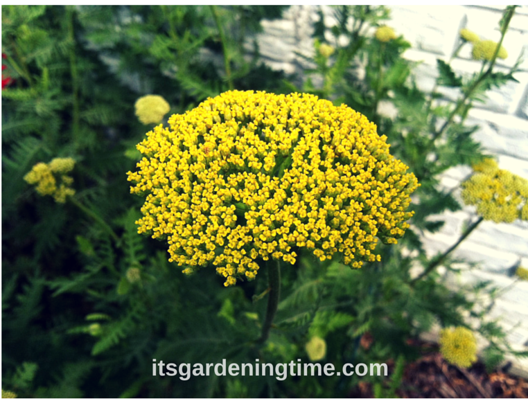 Golden Yarrow beginner gardener how to garden