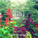#Hummingbirds Love Purple & Red #Salvia!