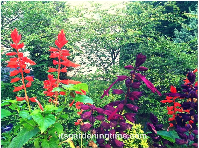 Purple & Red Salvia! how to garden beginner gardener