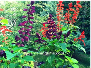 Purple & Red Salvia! how to garden beginner gardener