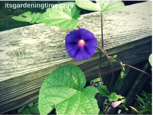 Morning Glory Bloom how to garden beginner gardener