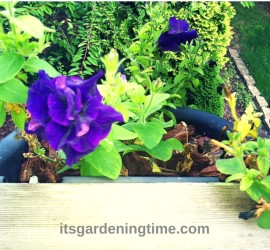 Pretty Purple Petunias how to garden beginner gardener