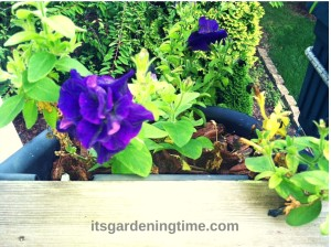 Pretty Purple Petunias how to garden beginner gardener