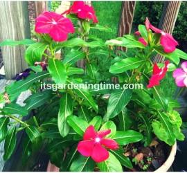 Magenta Vinca Blooming! how to garden beginner gardener
