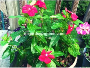 Magenta Vinca Blooming! how to garden beginner gardener