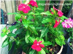Magenta Vinca & Pink Geranium how to garden beginner gardener