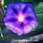 #Morning #Glory #Vine Pretty but Invasive … #purpleflowers