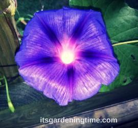 Morning Glory Bloom how to garden beginner gardener