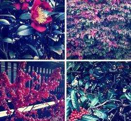 Winter Red Welcomes the Holidays! beginner gardener how to garden
