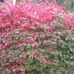 4 Reasons to #Grow Burning Bush! #autumn #landscape