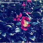 4 Reasons to Add #Yuletide #Camellia to #Autumn #Landscape!