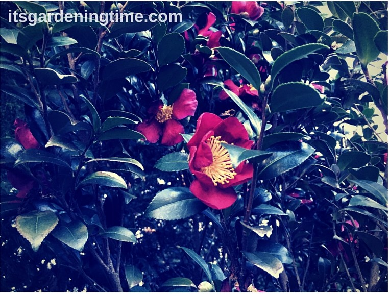"Camellia ""Yuletide"" beginner gardener how to garden"