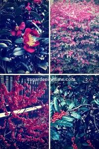 Winter Red Welcomes the Holidays! beginner gardener how to garden