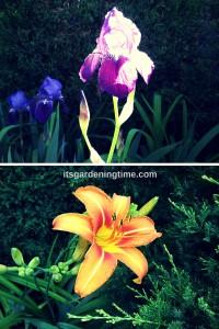 Combination: Bearded Irises & Tiger Lilies beginner gardener how to garden