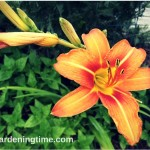 5 Reasons to #Grow Tiger #Lilies! #flowers #flower