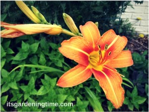 Heirloom Garden: Tiger Lilies beginner gardener how to garden