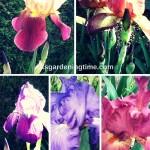 How to #Plant & #Grow #Irises! #iris #flowers
