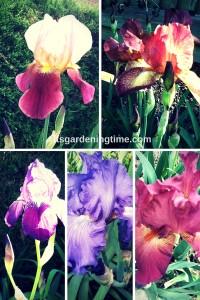 5 Stunning Bearded #Irises! how to garden beginner gardener