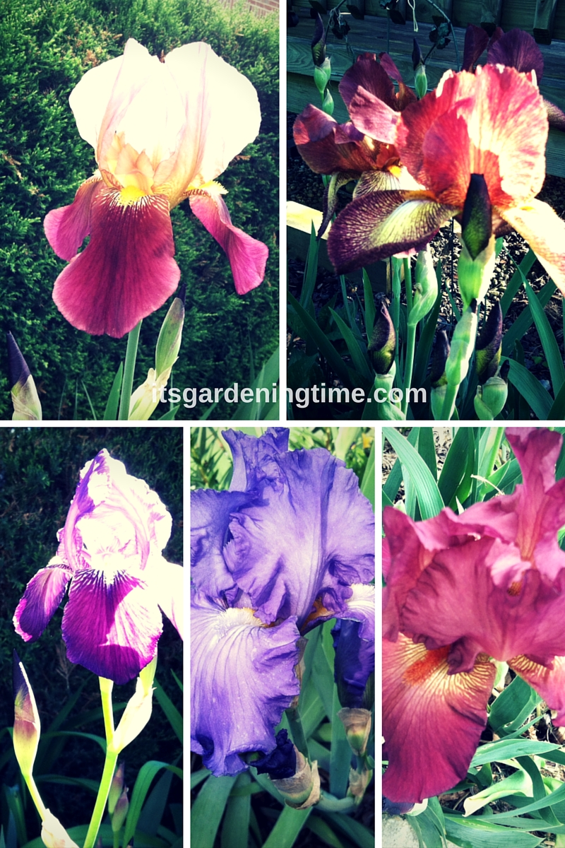5 Stunning Bearded #Irises! how to garden beginner gardener