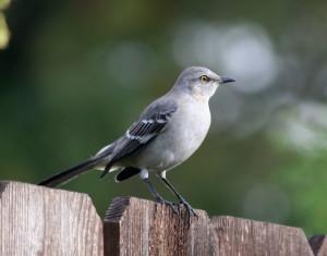 Mockingbird [Photo Courtesy: commons.wikipedia.com]