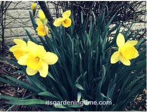 Daffodils how to garden beginner gardener