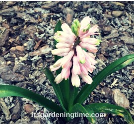 Pink Hyacinth Flowers! how to garden beginner gardener