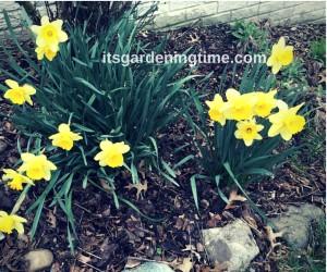 Spring Daffodils! how to garden beginner gardener