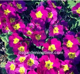 Primrose beginner gardener how to garden