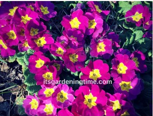 Primrose Flowers how to garden beginner gardener