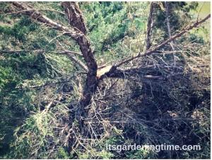 #Snowzilla Damaged Evergreen how to garden beginner gardener