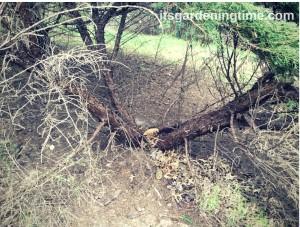 #Snowzilla Damages Evergreens