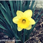 #Daffodils Signal #Spring is Here! #flowers