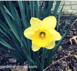 Single Yellow Daffodil how to garden beginner gardener