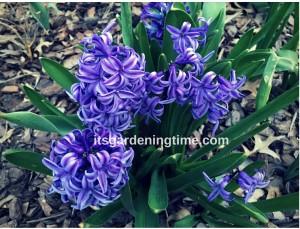 Grape Hyacinth beginner gardener how to garden