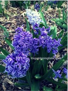 Grape Hyacinth how to garden beginner gardener