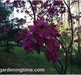 Crabapple Tree how to garden beginner gardener