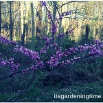 #American #Redbud #Tree Sports #Purple #Flowers But Needs Help …