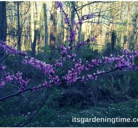 American Redbud how to garden beginner gardener